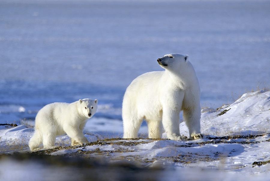 polar-bear-mum-and-pup